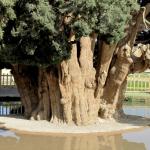 Cypress of Abarkuh, Zoroastrian Sarv, Sarv-e Abarkuh.