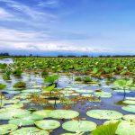 Anzali pond-Iran, Anzali Lagoon, Anzali Lagoon- Iran, waterlilies pond in Iran.