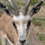 gazella subgutturosa