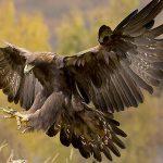 hawk- bird – Iran, sparrow hawk.