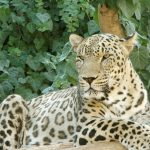 Panthera pardus tulliana