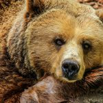 brown bear- Iranian bear.