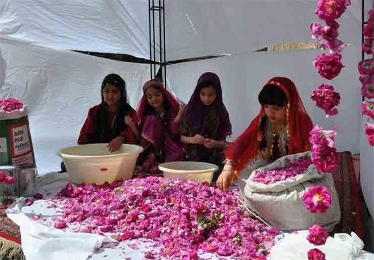 Pink Rose-Kashan