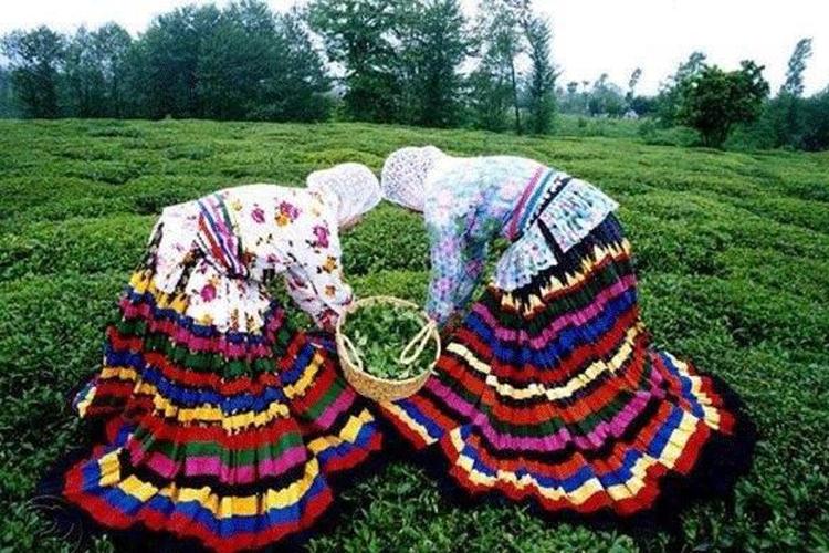 Tea harvesting- Lahijan