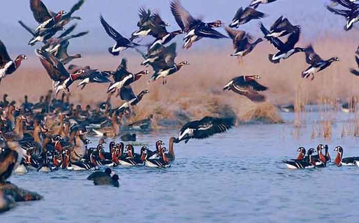 Migratory Birds-Iran