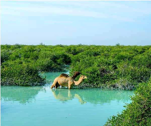 Mangrove forests,Mangrove forests-Qeshm