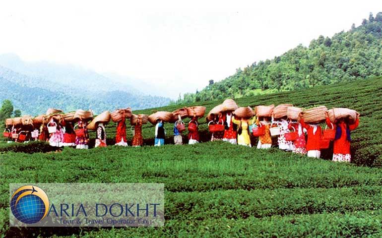 tea garden, Lahijan, cultivation tea,